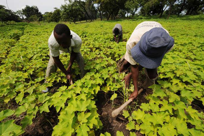 A Dimbokro, en Côte d'Ivoire, dans un champ de jatropha, plante dont l'huile peut être utilisée comme biocarburant.