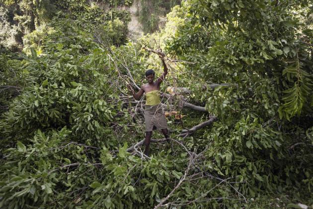 Haïti, 2015. Près de 60 % de la production énergétique nationale provient du charbon de bois et Haïti est considéré comme un des pays les plus touchés par la déforestation. Elle rend le pays très vulnérable aux phénomènes climatiques extrêmes tels que les inondations et les ouragans. Ici, un arbre vient d'être coupé afin d'en tirer du charbon de bois.