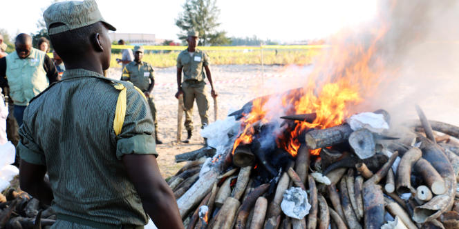 Destruction d'ivoire et de cornes de rhinocéros le 6 juillet 2015 à Maputo.