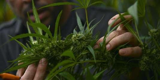 Des plans de cannabis ) Medellin, en Colombie.