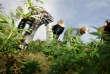 Au Maroc, des fermiers qui détruisent des champs de cannabis dans le Rif, sous la supervision des forces de l'ordre, en 2006.