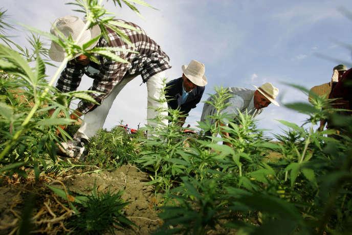 Des paysans marocains détruisent leurs champs de cannabis sous contrôle de la police.