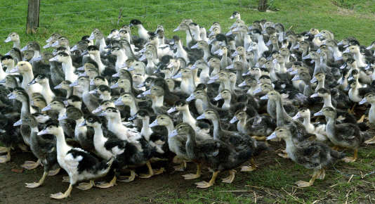 Deux nouveaux foyers de grippe aviaire ont été détectés dans des élevages de canards de Dordogne et des Landes.