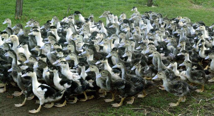 Dans un élevage en Dordogne. Depuis les premiers cas de grippe aviaire, fin novembre, 68 000 volailles ont été abattues