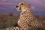 En Namibie, Cheetah, le guépard dont le génome a été étudié afin de mesurer la variabilité génétique de son espèce - celle-ci est en voie de disparition.