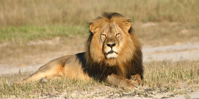 Un lion dans le parc national de Hwange, au Zimbabwe.
