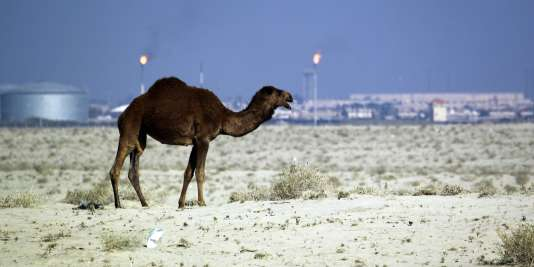 Un dromadaire, en Irak, le 16décembre.