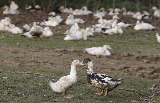 Les élevages d'oies et de canards du Sud-Ouest vont devoir geler leur production pendant plusieurs mois afin d'éradiquer la grippe aviaire qui a été détectée dans huit départements.