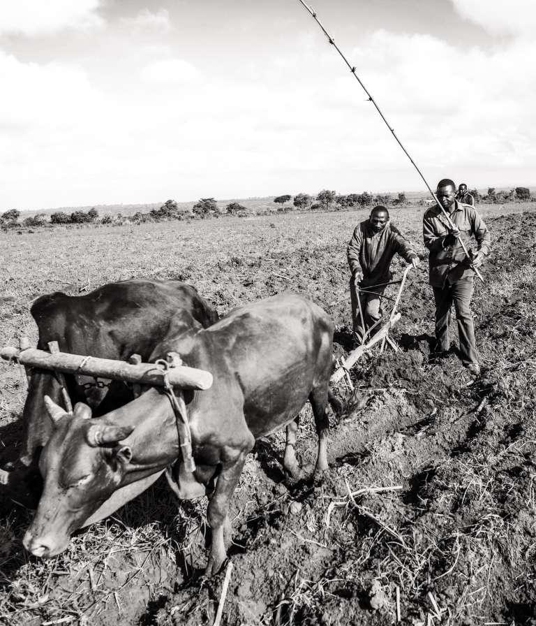A Igunda, village situé à une trentaine de kilomètres au sud d'Iringa, au cœur des hauts plateaux tanzaniens. Le travail de la terre se fait à la main, les tracteurs sont rarissimes. L'utilisation de bœufs est non seulement une alternative efficace mais également une forme d'épargne.
