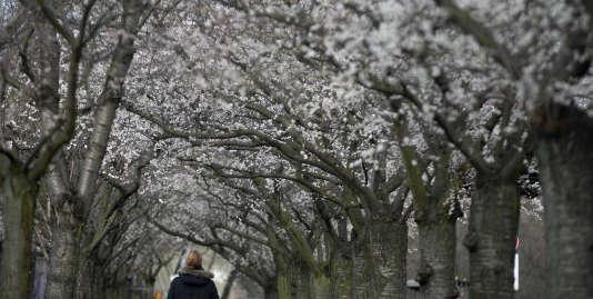 Cerisiers en fleurs à Berlin, le 22 décembre.