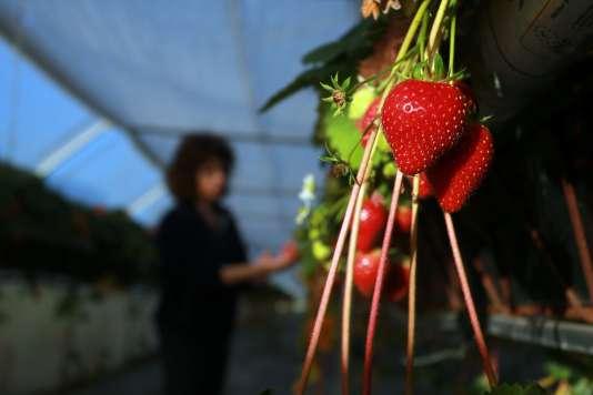 Une productrice de fraises dans le Périgord, à Cendrieux, le 29 décembre.