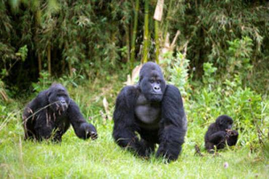 Des gorilles dans les montagnes volcaniques des Virungas, au Rwanda