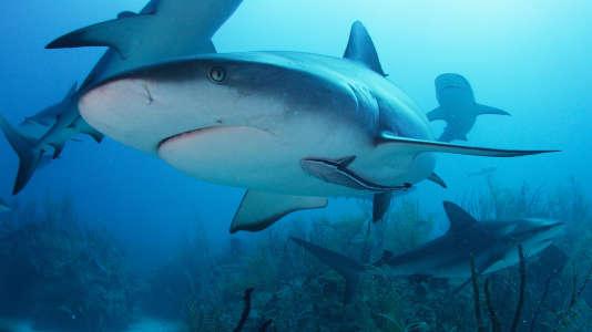Requins de récif des Caraïbes nageant au large des côtes de Nassau, aux Bahamas.