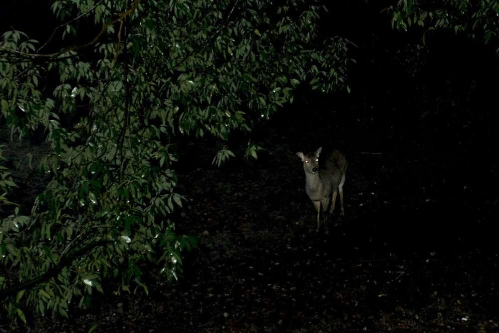 La nuit dans le bois de Nara.