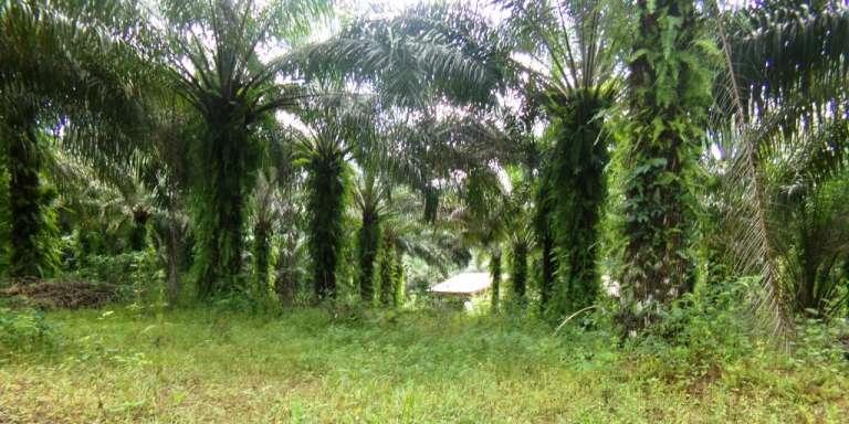 Une palmeraie écologique dans le village de Tayap, dans le centre du Cameroun.