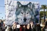 Le loup, «révélateur de notre rapport à la nature»