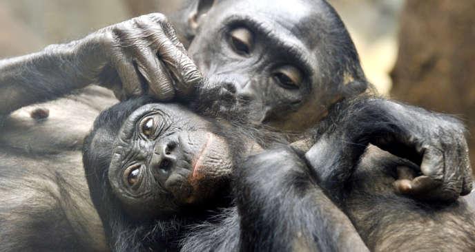 Deux chimpanzés pygmées lors d'une séance d'épouillage dans le zoo de Francfort.