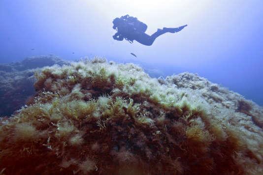 Un plongeur observe les algues filamenteuses près de l'île de Porquerolles, en juin 2015. Ces algues ont largement proliféré à cause du réchauffement climatique, étouffant le reste de la flore sur le côtes méditerranéennes.