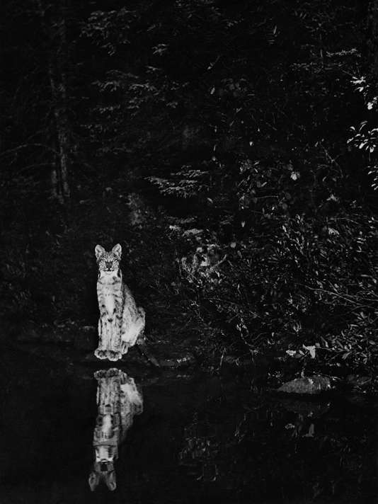 """Lynx, Loon Lake, Ontario"". Canada, 1902. Une photo de George Shiras."