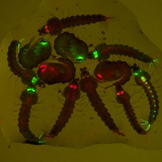Larves et nymphes de moustique anophèle transgéniques identifiées par des marqueurs fluorescents rouge ou vert.