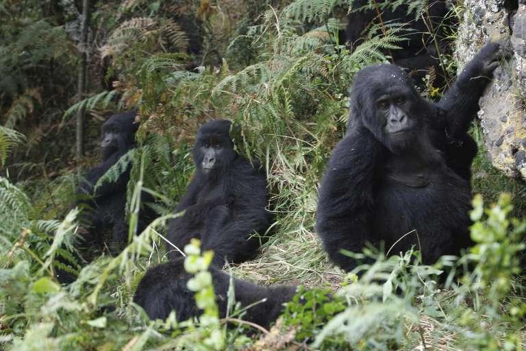 Des gorilles de montagne dans le parc national des Virunga en République démocratique du Congo (RDC).