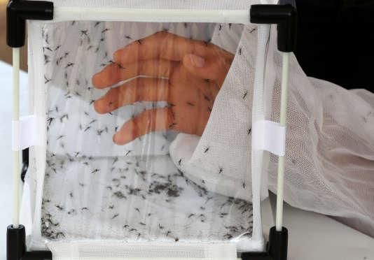 Des «Aedes aegypti» modifiés génétiquement afin d'engendrer des descendants non viables.