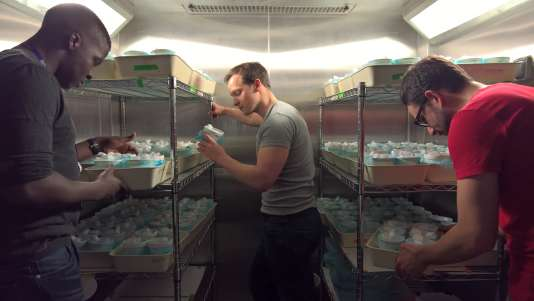 Vérification de la production de moustiques dans le laboratoire de l'Imperial College, à Londres.