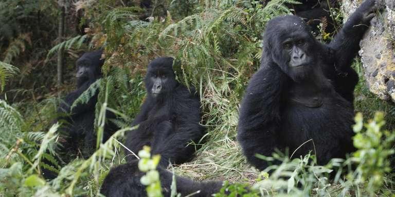 Des gorilles, dans le parc national des Virunga à Goma, au nord-est de la République démocratique du Congo, en 2010.