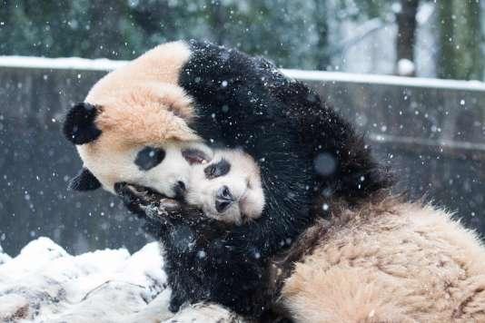 Deux pandas jouant dans le zoo de Hangzhou, en Chine, le 21 janvier 2016.