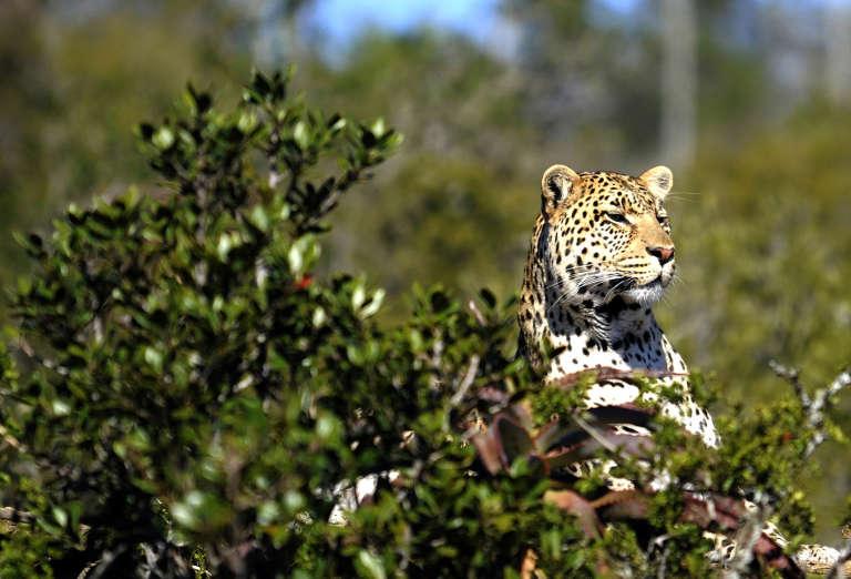 Dans la réserve sud-africaine de Shamwari Game, située à 80 km de Port-Elizabeth en octobre 2010.