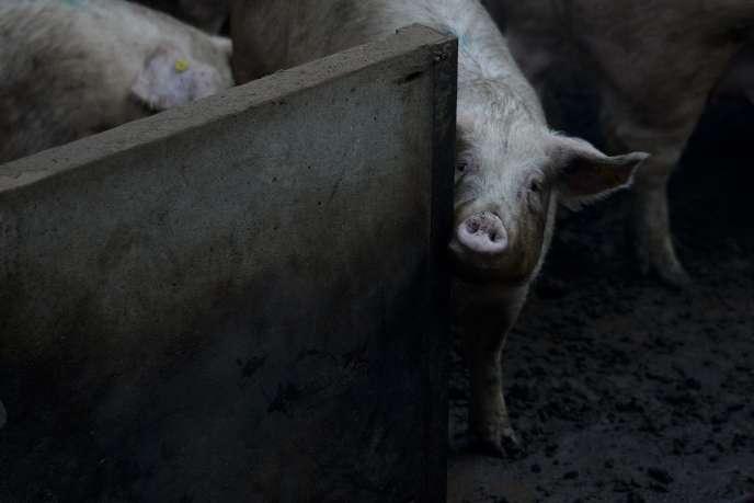 La surproduction de porcs revient régulièrement, à peu près tous les trois ans, dans presque tous les pays de l'Union européenne (UE). La cause structurelle est évidente: le marché du porc a toujours refusé une régulation par les pouvoirs publics; cela sous l'impulsion décisive des Pays-Bas et du Danemark, dans les années 1960.
