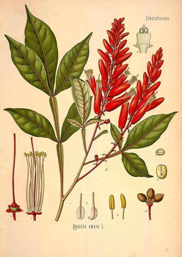 Le petit arbre tropical Quassia amara dessiné dans un ouvrage de botanique du 19e siècle par Köhler.