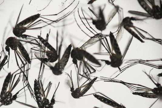 Le moustique Aedes aegypti, responsable de la transmission du virus Zika qui a déjà touché 1,5 million de Brésiliens, en janvier 2016.