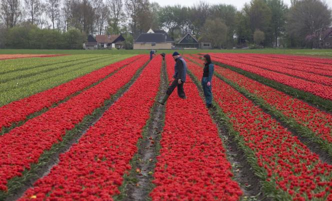 Les Pays-Bas sont le pays d'Europe où, en incluant ces temps partiels, les habitants travaillent le moins en termes de volume horaire: 1357heures par an, ce qui équivaut à une semaine moyenne de… 30heures(Photo: champ de tulipes près d'Oude Niedorp, aux Pays-Bas).