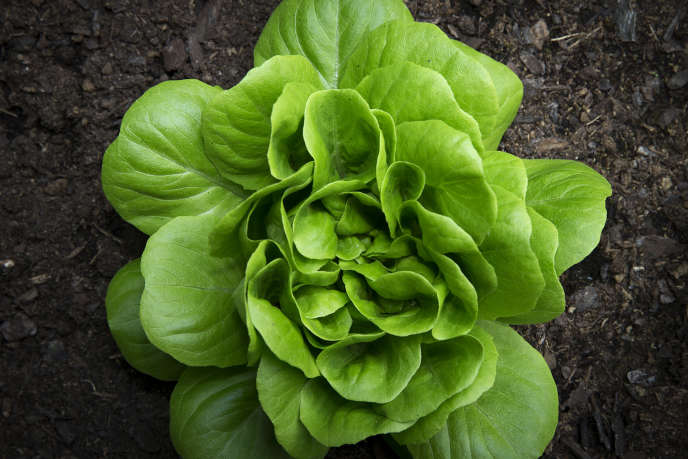 A picture shows a lettuce in the vegetable garden of the Tuileries Gardens in Paris on May 31, 2014. AFP PHOTO /JOEL SAGET / AFP / JOEL SAGET