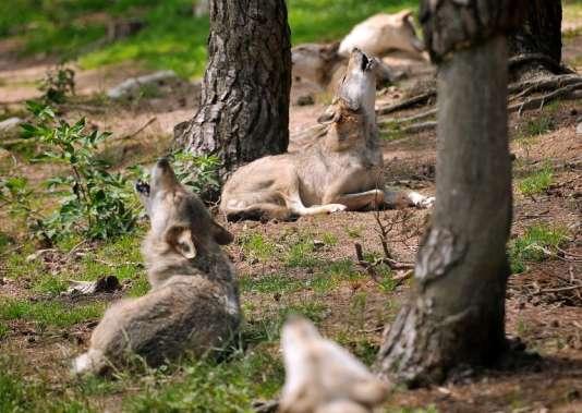 Les estimations du parc scientifique du Gévaudan faisaient état de 32animaux, alors qu'il y en avait 40, selon un dernier décompte.