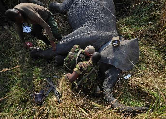 Une jeune femelle éléphant se fait installer un GPS dans le parc de Garamba, en février 2016. Dans cette région, 100000 éléphnats ont été abattus ces trois dernières années pour le commerce illégal d'ivoire.