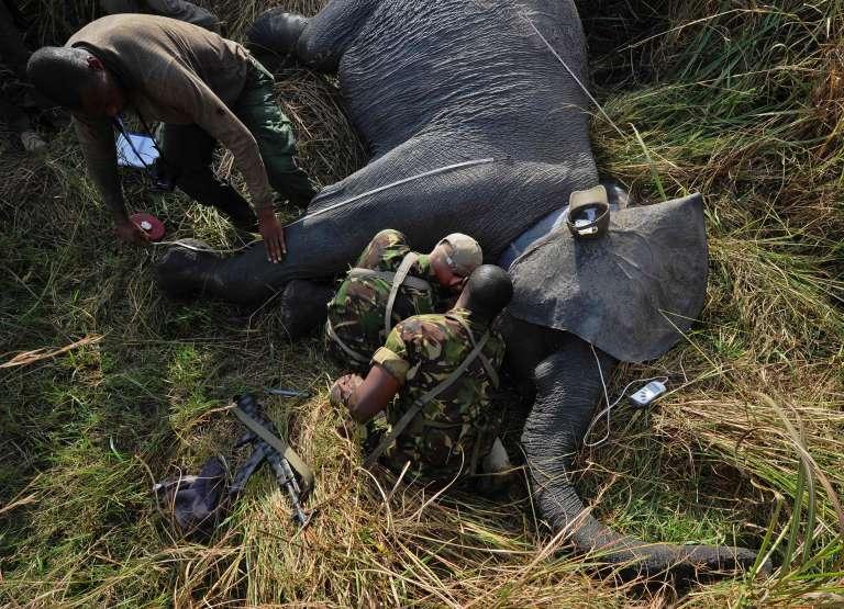 Au parc national de Garamba, dans le nord-est de la République démocratique du Congo (RDC), un éléphant est équipé d'un système de géolocalisation, le 3 février 2016.