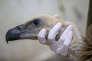 Un vautour fauve, suspecté d'espionnage pour le compte d'Israël, au zoo de Ramat Gan près de Tel Aviv, le 29 janvier 2016.