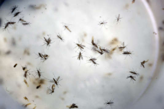 Aedes aegypti mosquitoes float in a mosquito cage at a laboratory in Cucuta, Colombia, Thursday, Feb. 11, 2016. The laboratory, run by the Health Institute of Norte de Santander, the Colombian state that's been hardest hit by the Zika virus, keeps samples of mosquitoes collected from different areas to study their resistance to insecticide and adjust the formula for fumigation campaigns. The Aedes aegypti mosquito is the vector that transmits the Zika virus, and also dengue and chikunguna. (AP Photo/Ricardo Mazalan)