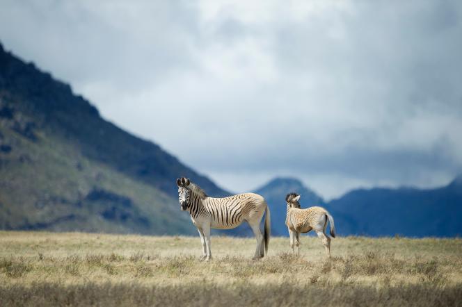 Rayés noir et blanc du museau au ventre, mais brun clair uni sur le postérieur, on les croise dans une vallée à deux heures du Cap.