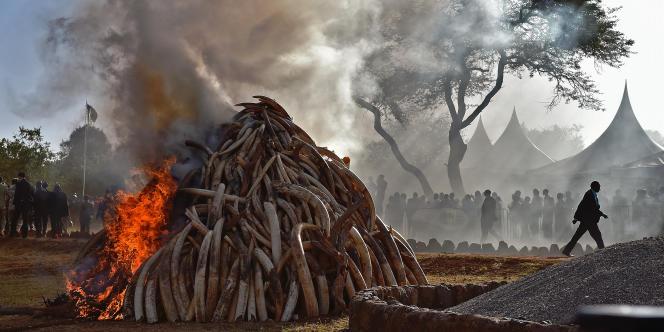 Destruction de 15 tonnes de défenses d'éléphant saisies dans le Parc national de Nairobi, au Kenya, le 3 mars 2015.