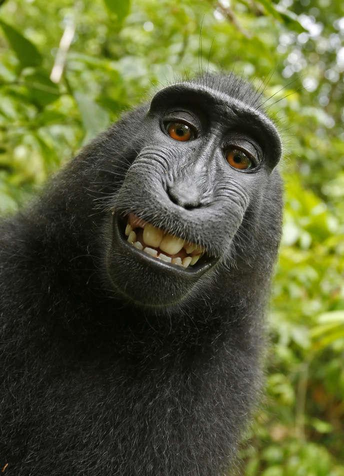 L'un des selfies du macaque indonésien Naruto.