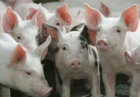 La colistine est utilisée dans l'élevage, par exempleles porcs et les poulets.