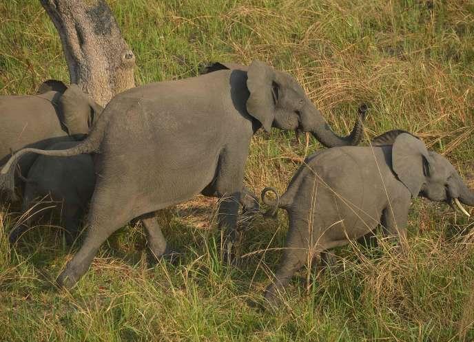 Une famille d'éléphants dans le parc national de la Garamba, dans le nord-est de la République démocratique du Congo, où l'insécurité politique rend la conservation de la faune très difficile.