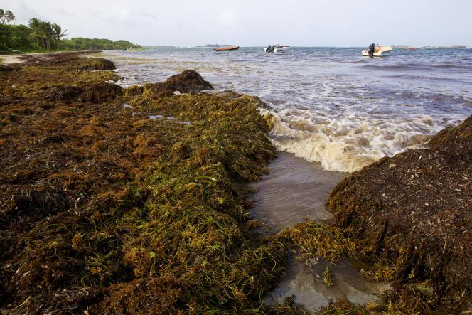 Des algues sargasses sur la plage de la commune de Saint-Anne, en Martinique, en juillet 2011.