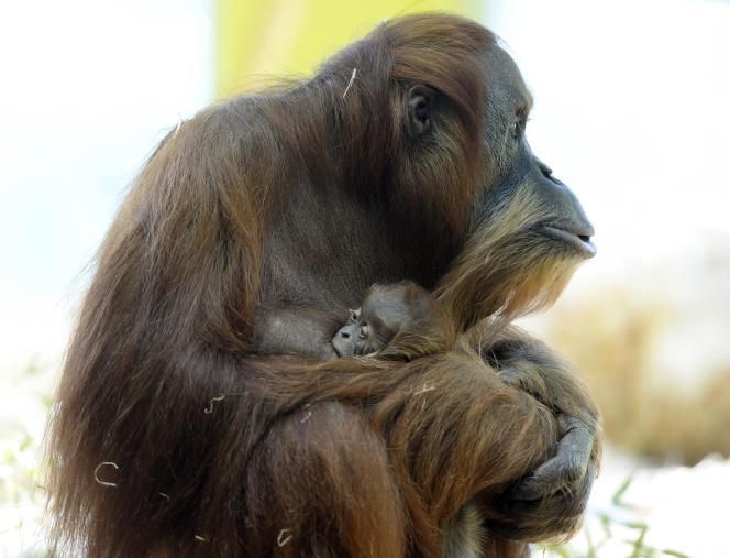 Un orang outan de Sumatra et son bébé d'un mois  au zoo Hellabrunn de Munich le 7 février 2014.