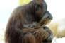 Un orang outan Sumatra et son bébé d'une semaine au zoo Hellabrunn de Munich, le 7 février 2014.