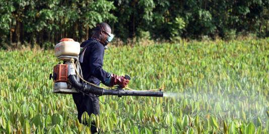 Un homme épand des pesticides dans une pépinière d'hévéa dirigée par Sifca, le premier groupe Afrique de l'Ouest agro-industriel (Toupa, Côte d'Ivoire, 30 novembre 2015).