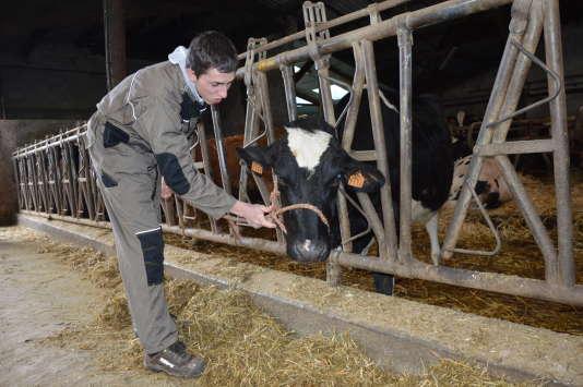 David, étudiant en BTS agricole au lycée Terre Nouvelle, passe un licol à 2114, la seule vache du troupeau de la ferme-école dont personne n'arrive à retrouver le prénom.
